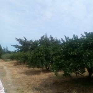 Sénia orange à 15 km de Slimen Nabeul