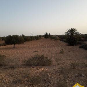 Terrain de 5200 m² avec oliviers à Mahboubine Djerba